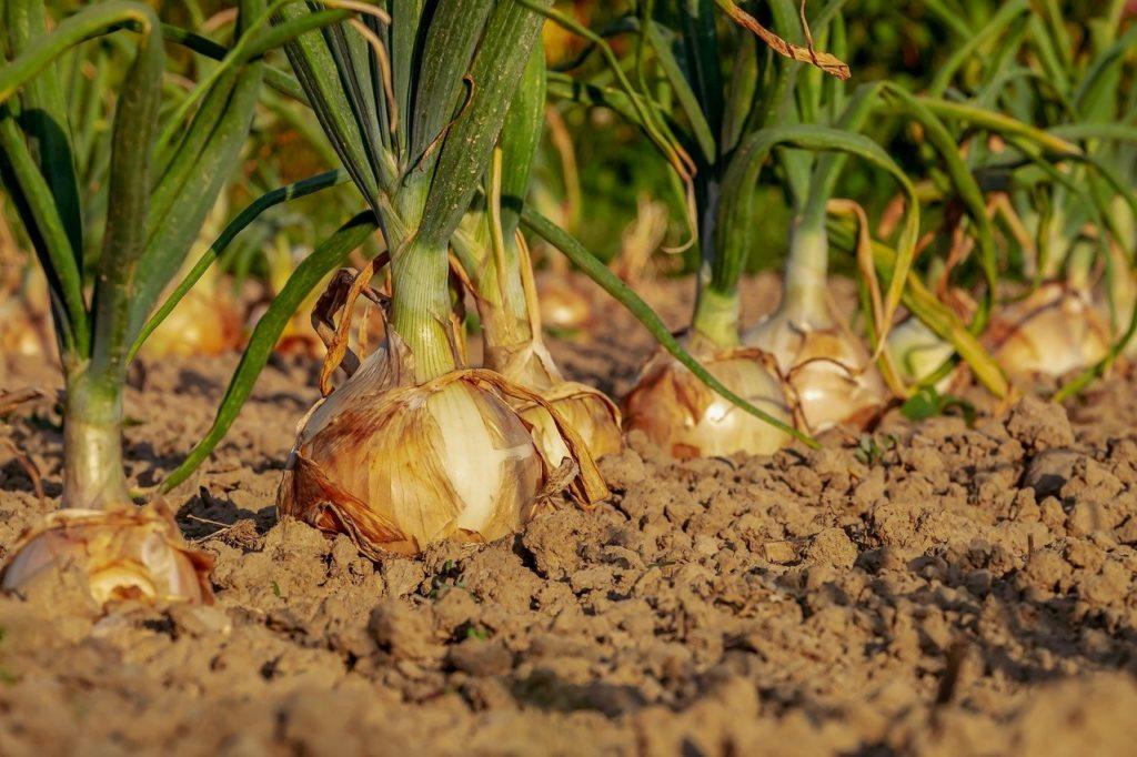 onion, fields, field-3540502.jpg